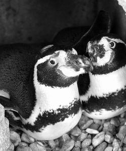 科技时代_动物园牵线搭桥 同性恋企鹅置之不理