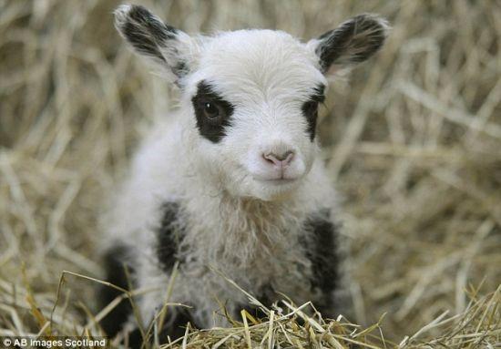出生的熊猫羔羊真不少,诺贝尔正考虑以爱丁堡动物园的这对大熊猫给它们命名。
